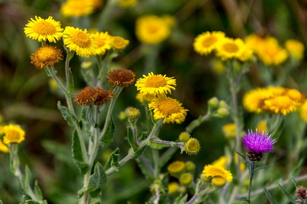 Common fleabane (pulicaria dysenterica) and thistles flowering near ardingly reservoir in sussex