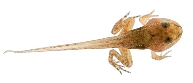 Common frog european common frog or european common brown frog