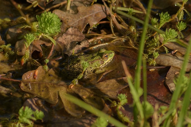 A common frog in a pond