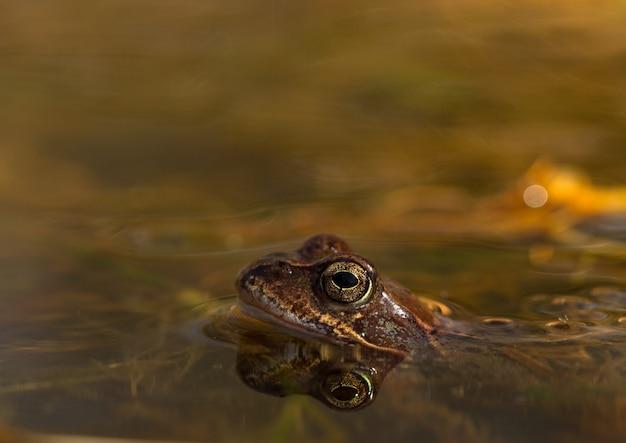 ノルウェーの庭の池にいる共通のカエル、rana temporaria。側面からの眺め、水中のカエルの反射。 4月、春
