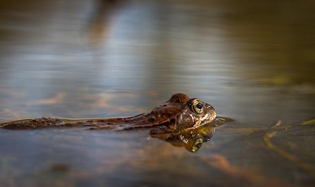 ノルウェーの庭の池にいる共通のカエル、rana temporaria。側面からの眺め、水中のカエルの反射。 4月、春 Premium写真
