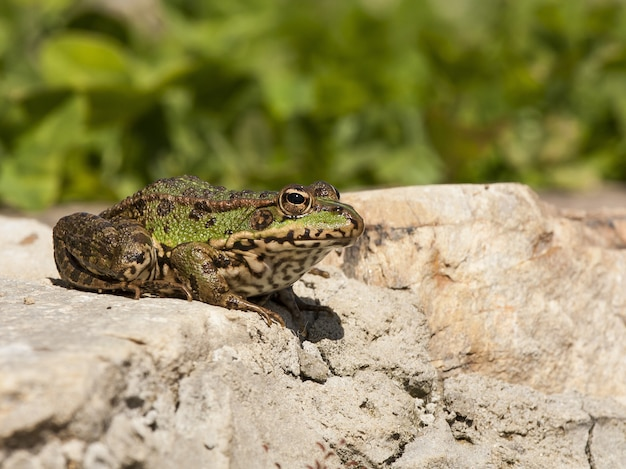 Rana comune su una roccia