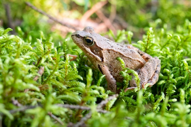 일반적인 개구리는 녹색 젖은 이끼에 앉아