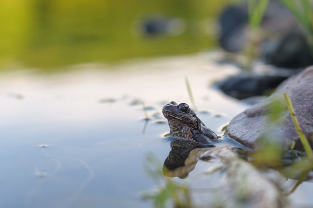 A common frog sits in a pond in the evening