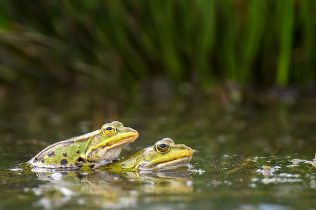 Common frogs pairing in a pond. couple of animals are sitting in the river in spring period