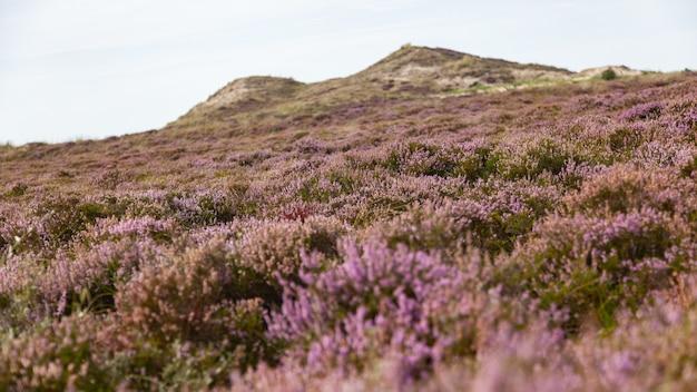 Common heather flowers on the moor