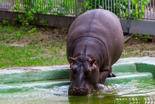 The common hippopotamus (hippopotamus amphibius), hippo portrait.