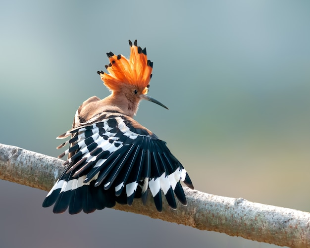 Common hoopoe having stretch on a tree perch