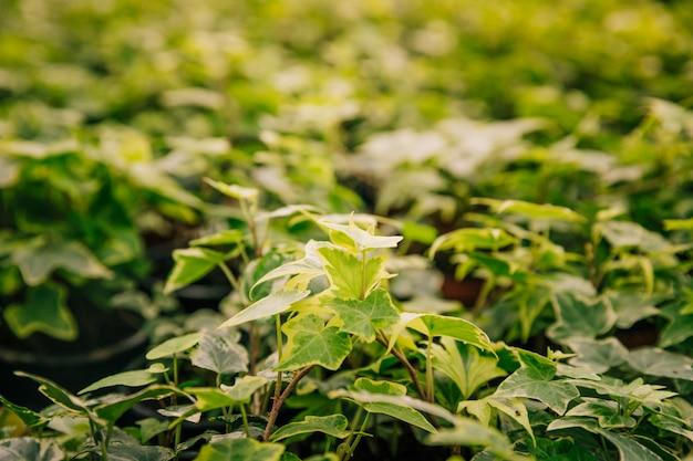 Общие растения плюща в ботаническом саду