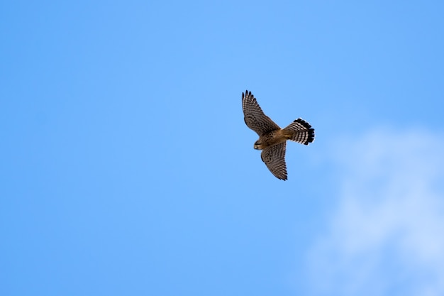 Обыкновенная пустельга (falco tinnunculus) на тенерифе