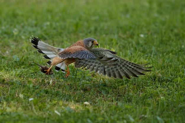 Обыкновенная пустельга. falco tinnunculus маленькие хищные птицы