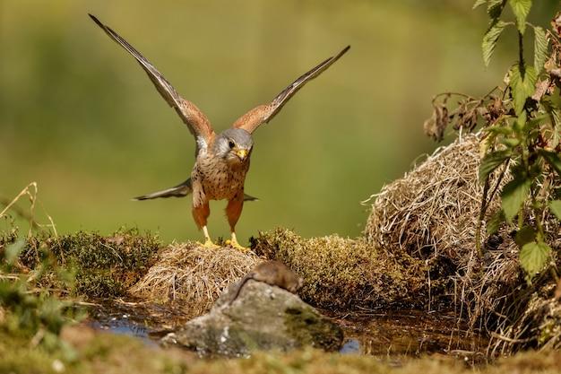 일반적인 황조롱이. falco tinnunculus 작은 새들의 먹이