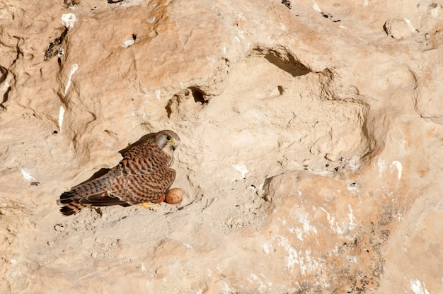 Common kestrel falco tinnunculus sits on its nest in the rock