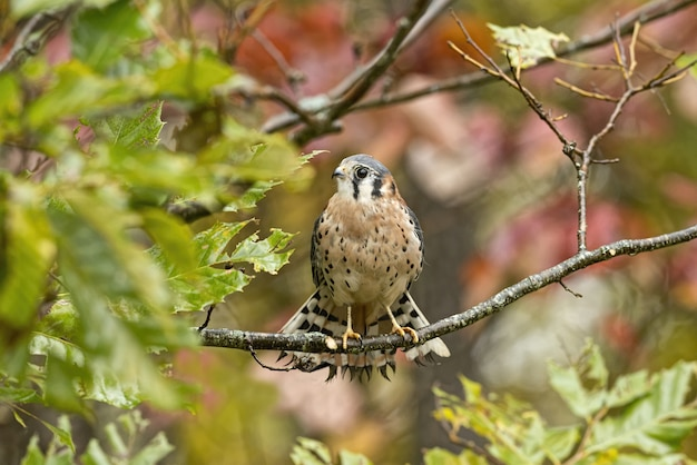 Common kestrel standing on a tree branch under the sunlight with a blurry background