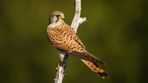 Common kestrel with dark stripes on brown feathers looking back