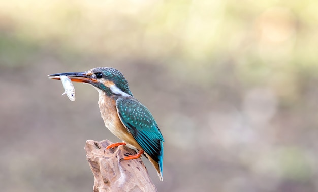The common kingfisher (alcedo atthis) beautiful color with fish catch on perched a branch in thailland