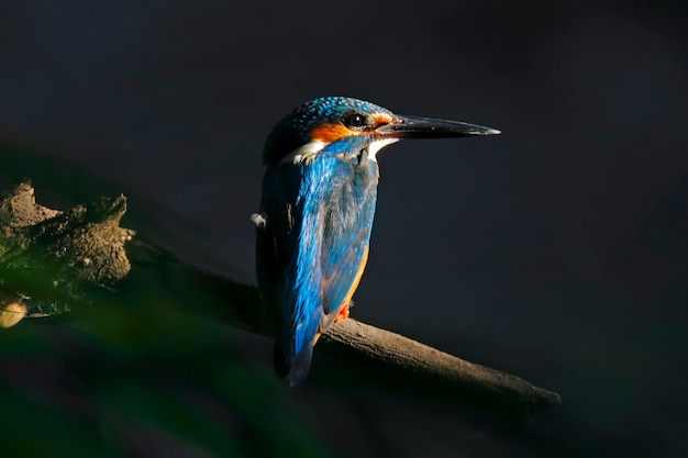 共通のキングフィッシャーalcedo atthisタイの美しい男性の鳥
