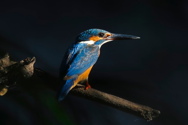 Common kingfisher alcedo atthis beautiful male birds of thailand