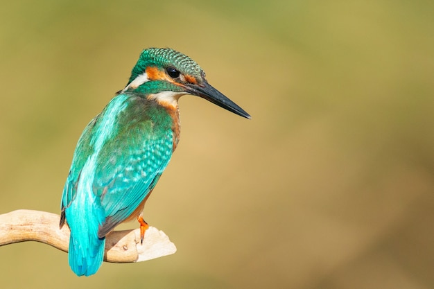 Common kingfisher (alcedo atthis) sitting on a stick
