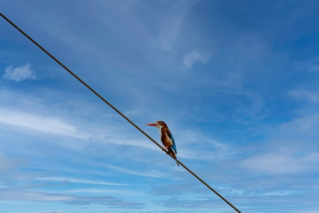 Common kingfisher in morning sun rise popular building for birds catch on the power cord