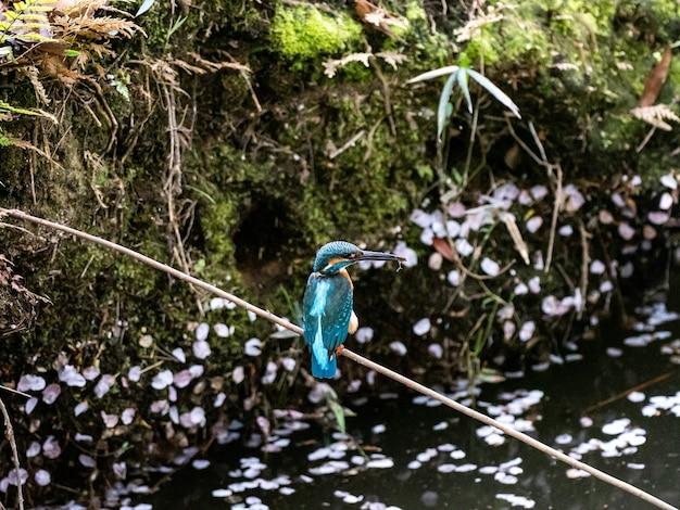 떨어진 벚꽃으로 뒤덮인 연못 위의 막대기에 앉은 일반적인 물총새