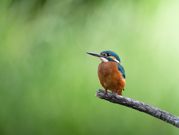 Common kingfisher sitting on a beautiful branch