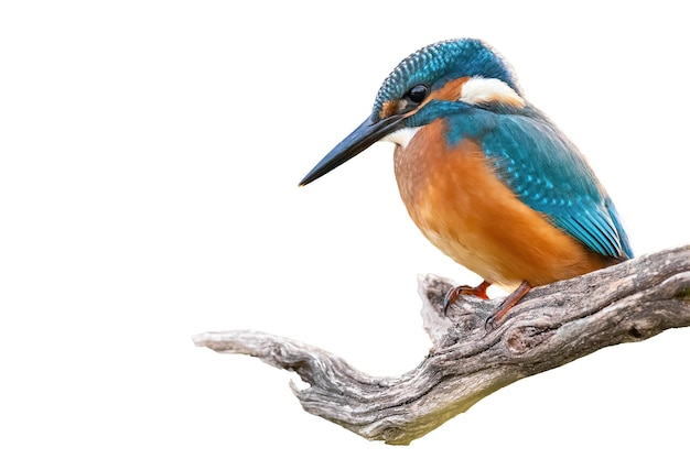 Common kingfisher sitting on branch isolated on white background