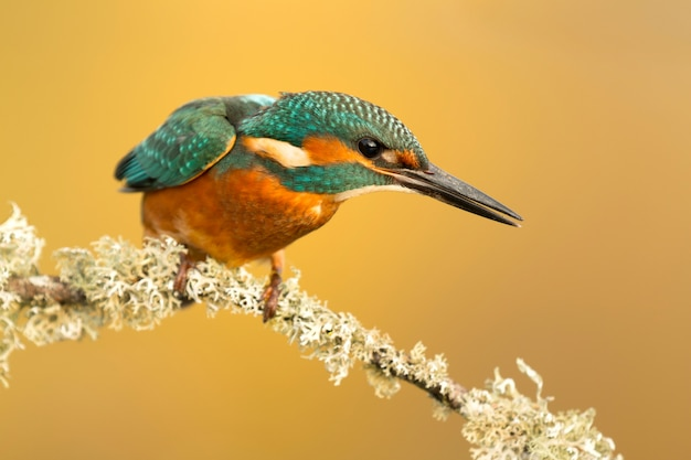 The common kingfisher in spain