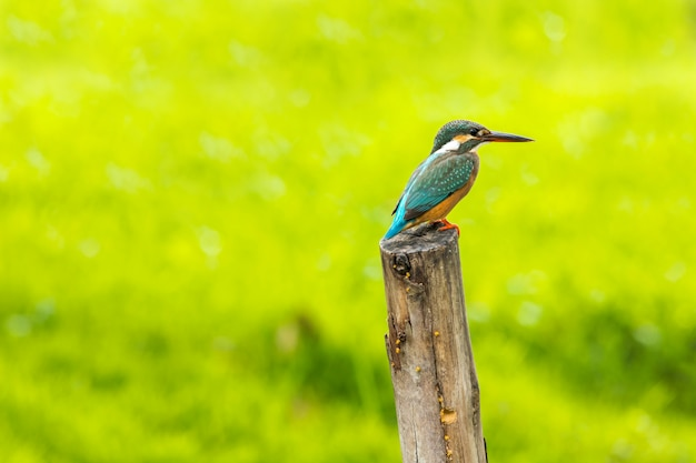 Common kingfisher with fish (alcedo atthis) beautiful color on branch