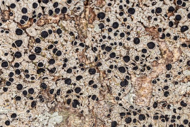 Текстура обыкновенного лишайника семейства physciaceae