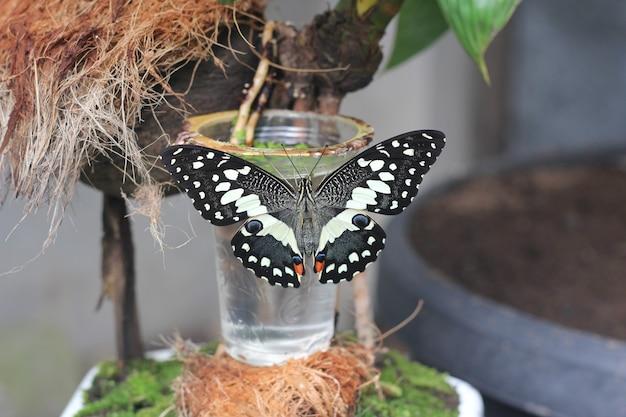 Бабочка обыкновенная липовая, сидящая на растении