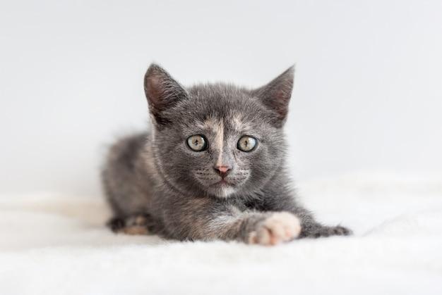 Common little grey kitten lies on white fluffy fabric