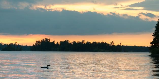 Общий лун (gavia immer), плавающий в озере на рассвете, озеро вудс, онтарио, канада