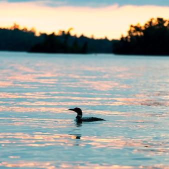 Common loon (gavia immer), плавающий в озере, озеро вудс, онтарио, канада