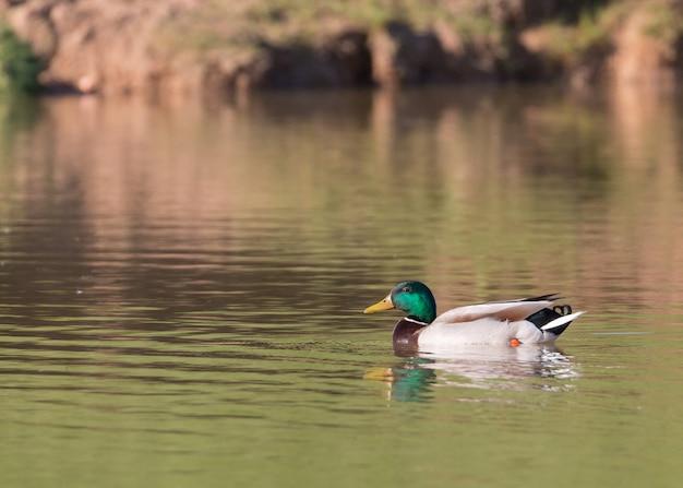 Кряква обыкновенная, anas platyrhynchos купается в озере в солнечный день