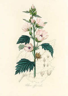 Common marshmallow (althea officinalis) illustration from medical botany (1836)