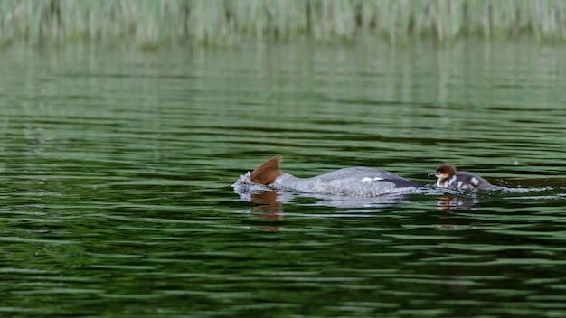 Обыкновенный крохальщик (mergus merganser) морской утенок, опускающий голову под воду