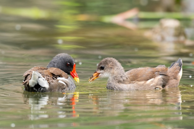 一般的なmoorhen、gallinula chloropus、池にひよこ