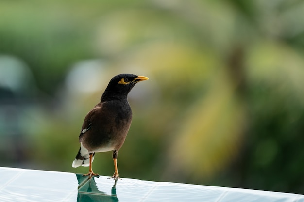Common myna acridothere tristis near the pool.
