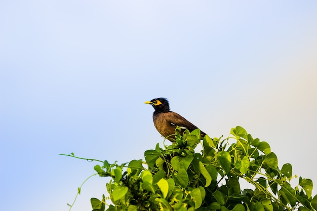 Common myna  acridotheres tristis or indian myna  also spelled mynah from the family sturnidae