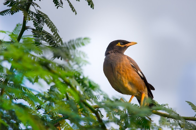Common myna  acridotheres tristis or indian myna  spelled mynah member  of the family sturnidae