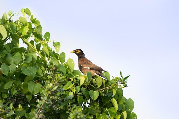 インドハッカacridotherestristisまたはインドハッカは時々木の上にmynahを綴った