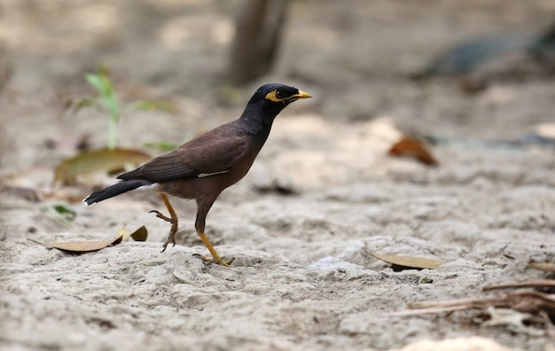 Common myna of indian subcontinent on ground