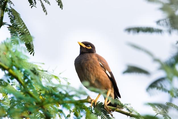 インドハッカまたはacridotherestristis、または長い飛行の後に木にとまるインドハッカとして綴られる