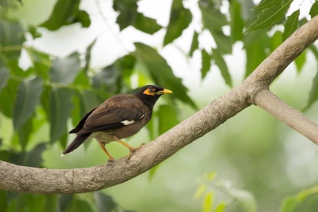 インドハッカまたはacridotherestristisは、長い飛行の後に木にとまるインドハッカを綴ることがありました