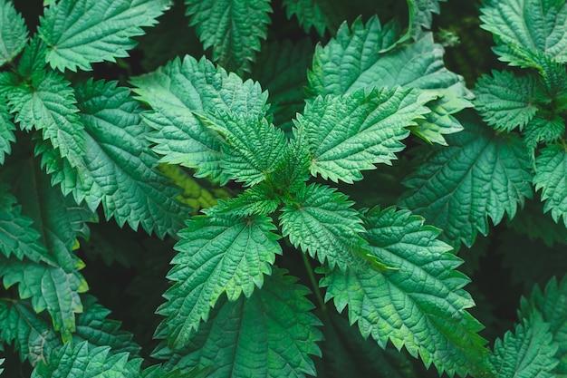 屋外で一般的なイラクサの茂み。イラクサdioica。イラクサ植物。漢方薬の概念。