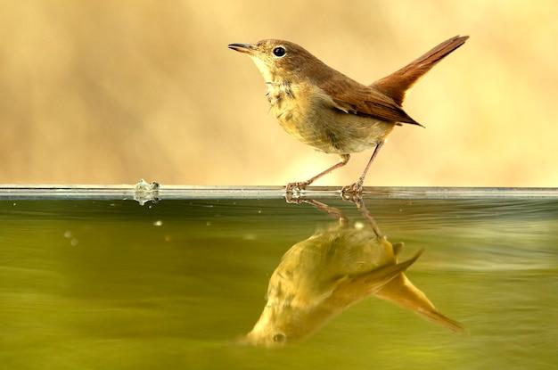 Обыкновенный соловей, пьющий в водном пункте летом, птицы, певчие птицы, luscinia megarhynchos