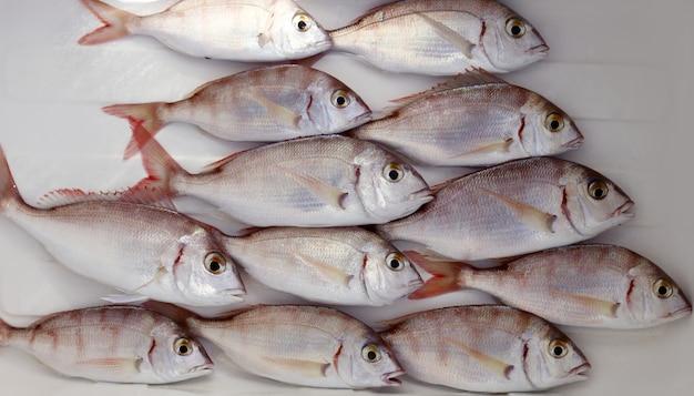 Common pandora fish pagellus erythrinus