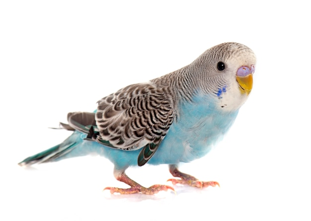 Common pet parakeet