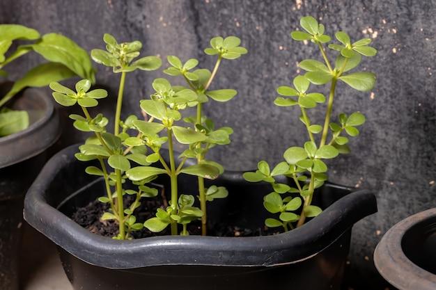 Common purslane plant of the species portulaca oleracea